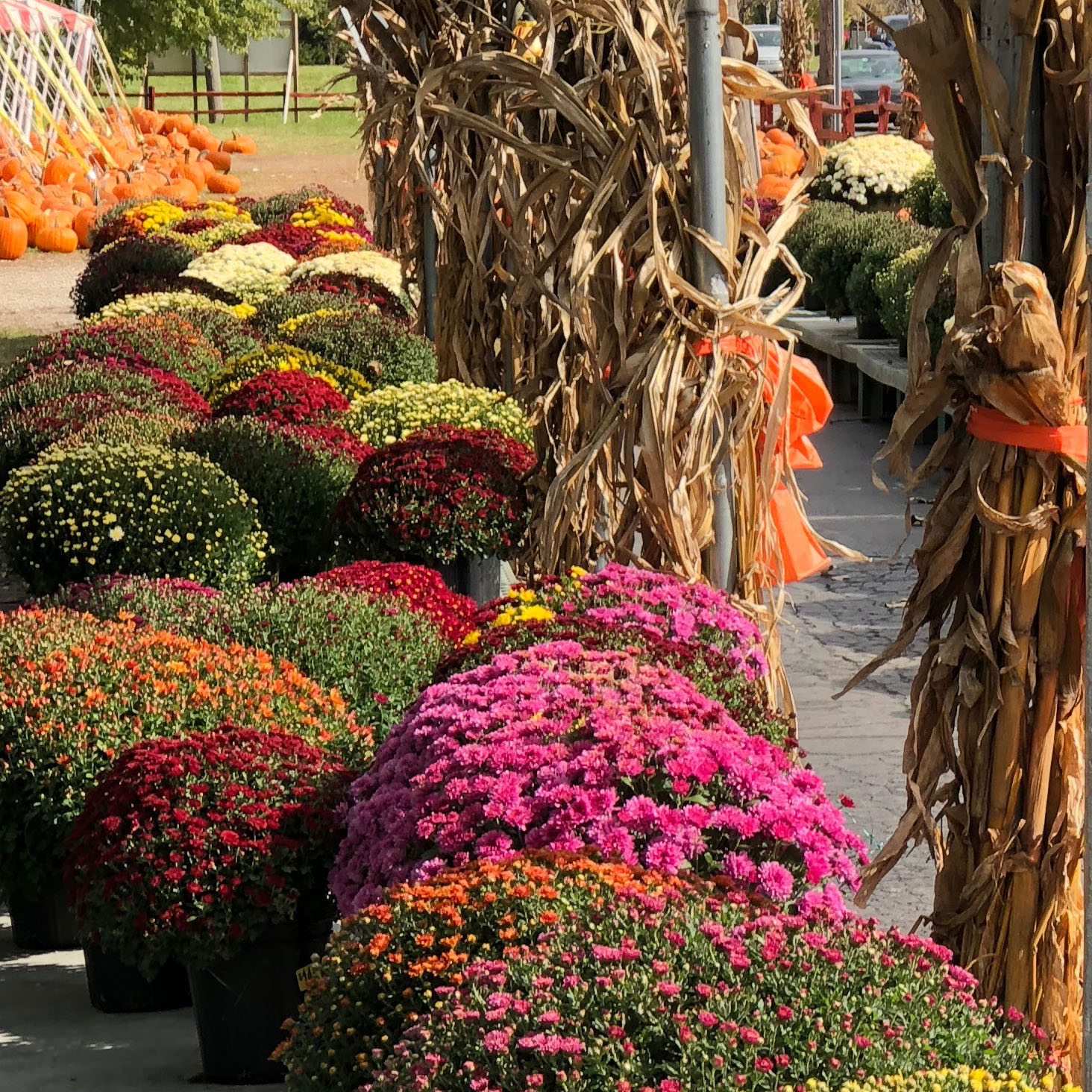 Johansen Farms Children's Zoo, Pumpkin Patch & Fall Festival - Our Mums are now 25% off!